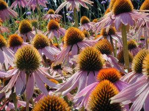 Group Of Echinacea