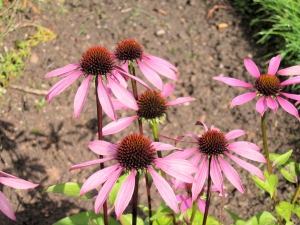 Purple Coneflower 1